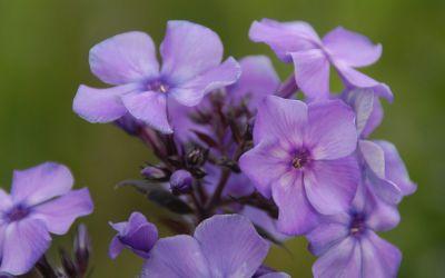Phlox paniculata Blue Paradise - Flammenblume, Hoher Sommer-Phlox