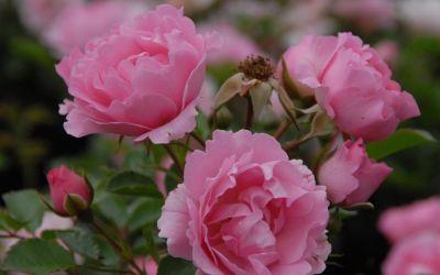 Rosa Sommerwind ® - Beet-, Bodendecker-Rose