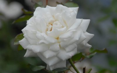 Rosa 'White Cockade' - Kletter-Rose