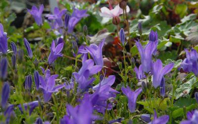 Campanula portenschlagiana Birch Hybrid - Teppich-Glockenblume