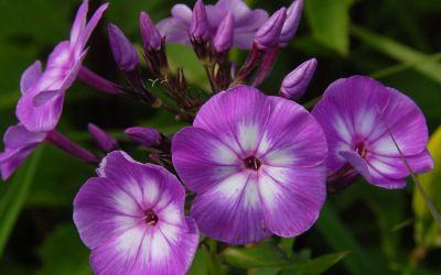 Phlox paniculata Uspech - Flammenblume, Hoher Sommer-Phlox