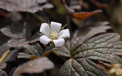 Geranium Hybride Sanne - Dunkellaubiger Storchschnabel