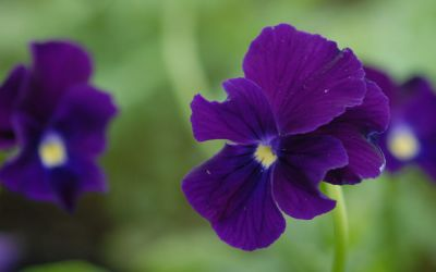Viola cornuta Roem van Aalsmeer - Horn-Veilchen