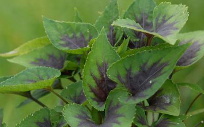 Viola Hybride Heartthrob - Blattschmuck-Veilchen