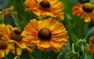 Helenium Hybride Hartmut Rieger - Sonnenbraut