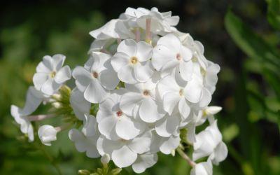 Phlox amplifolia David - Großblatt-Phlox
