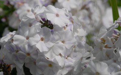 Phlox paniculata Schneerausch - Flammenblume, Hoher Sommer-Phlox