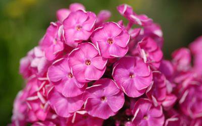 Phlox paniculata Betty-Marguerite - Flammenblume, Hoher Sommer-Phlox