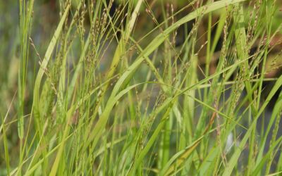 Panicum virgatum Strictum - Rutenhirse