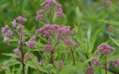 Eupatorium maculatum Purple Bush - Purpurdost