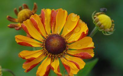 Helenium Hybride Rauchtopas - Sonnenbraut