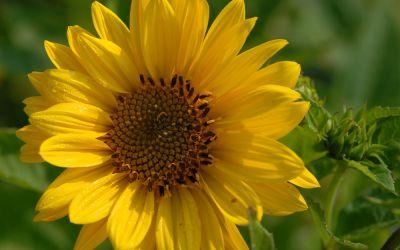 Helianthus decapetalus Triomphe de Gand - Stauden-Sonnenblume