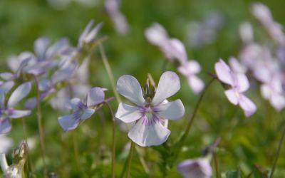 Viola cornuta Victorias Blush - Horn-Veilchen
