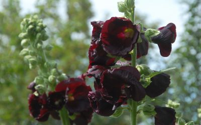 Alcea rosea Nigra - Stockrose