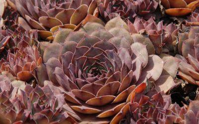 Sempervivum Hybride Pacific Thunder - Hauswurz, Dachwurz