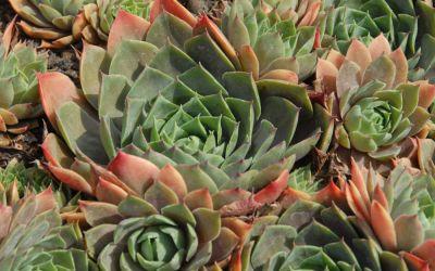 Sempervivum Hybride Hunsrück - Hauswurz, Dachwurz