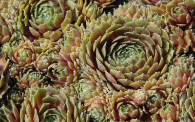 Sempervivum Hybride Raureif - Hauswurz, Dachwurz