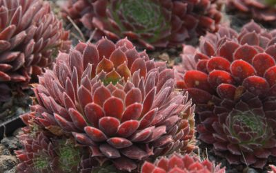 Sempervivum Hybride Pacific Red Tide - Hauswurz, Dachwurz