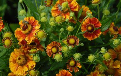 Helenium Hybride Marion Nickig - Sonnenbraut