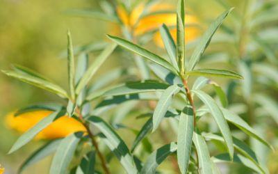 Euphorbia sarawschanica - Weiden-Wolfsmilch