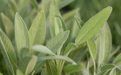 Salvia officinalis - Gewürz-Salbei