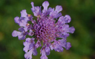 Scabiosa Hybride Vivid Violet ® - Skabiose