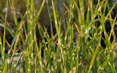 Miscanthus sinensis Strictus - Stachelschweingras, Zebraschilf