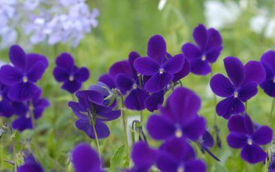 Viola cornuta Hansa - Horn-Veilchen