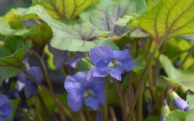 Viola spec. Smoky Mountains - Veilchen