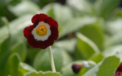 Primula Auricula-Hybride Alice Haysom - Garten-, Schau-Aurikel
