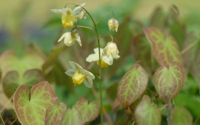 Epimedium x versicolor Sulphureum - Elfenblume