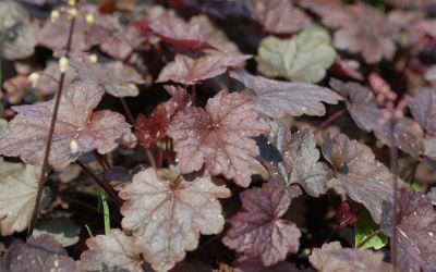 Heucherella Hybride Quicksilver - Silberblatt-Glöckchen