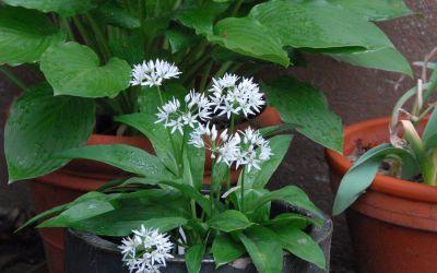 Allium ursinum - Bär-Lauch