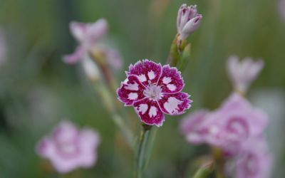 Dianthus Hybride Jane Austen - Englische Garten-Nelke