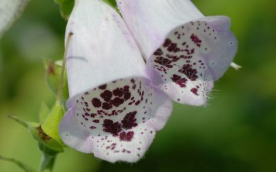 Digitalis purpurea Pams Choice - Fingerhut