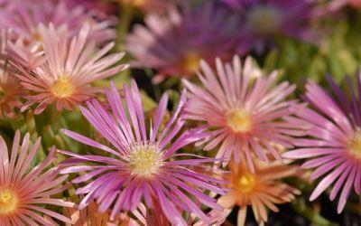 Delosperma Hybride Kelaidis - Winterharte Mittagsblume