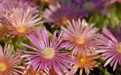 Delosperma Hybride Kelaidis - Mittagsblümchen