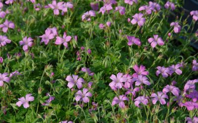 Geranium endressii - Pyrenäen-Storchschnabel