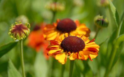 Helenium Hybride Sahins Early Flowerer - Sonnenbraut
