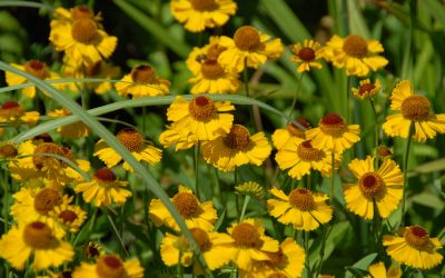 Helenium Hybride Wesergold - Sonnenbraut