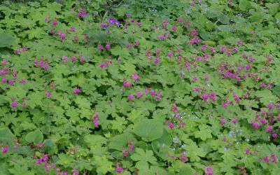 Geranium macrorrhizum Czakor - Balkan-Storchschnabel