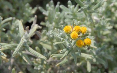 Helichrysum splendidum - Südafrika-Strohblume