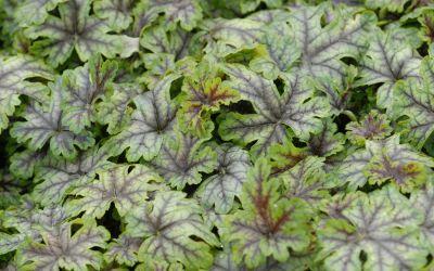 Heucherella Hybride Tapestry ® - Buntlaub-Glöckchen