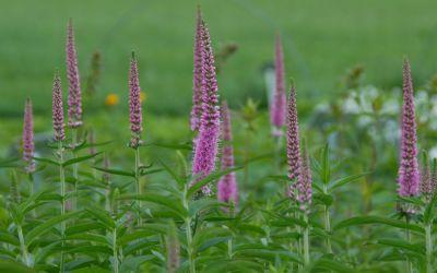 Veronica longifolia Charming Pink - Hoher Wiesen-Ehrenpreis