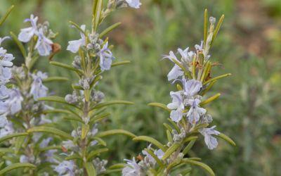 Rosmarinus officinalis Bozen - Rosmarin