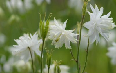 Aquilegia Vulgaris-Hybride White Barlow - Spornlose Akelei