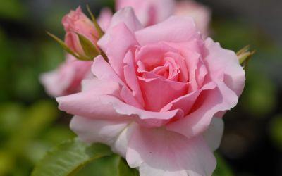 Rosa You are Beautiful - Floribunda-, Beet-Rose