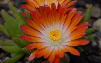 Delosperma Hybride Lucia - Mittagsblümchen