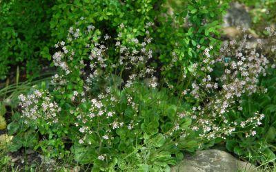 Saxifraga x urbium rosablütig - Porzellanblümchen