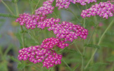 Achillea Millefolium-Hybride Peters Petra - Schafgarbe